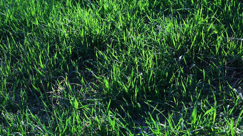 Fresh Green Grass stock footage