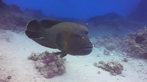 Napoleon Fish on Coral Reef Footage