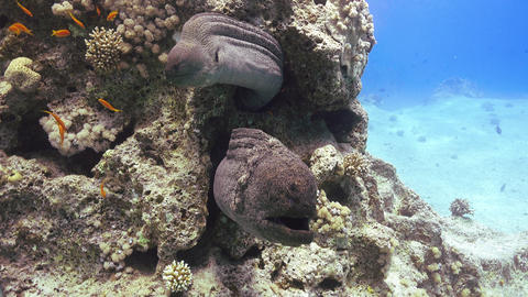 Two Murena on Coral Reef Footage