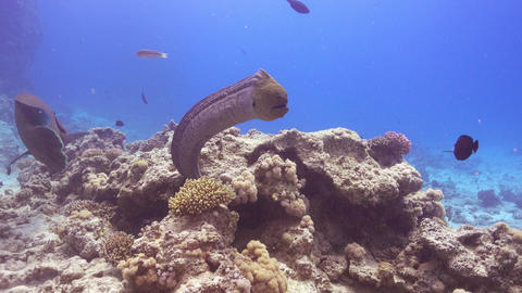 Napoleon Fish and Moray on Coral Reef Footage