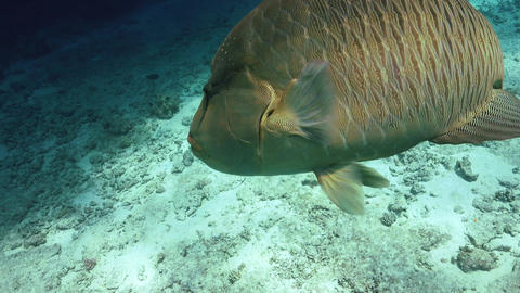 Napoleon Fish on Coral Reef Live Action
