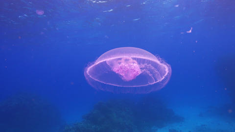 Beautiful Jellyfish Floating Among Coral Reef Footage