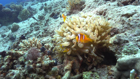 Clown Anemonefish on Coral Reef Footage