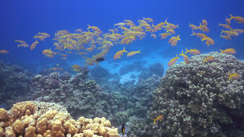 Tropical Fish on Vibrant Coral Reef, underwater scene Footage