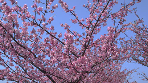 Sakura cherry blossoms in full bloom and blue sky Footage