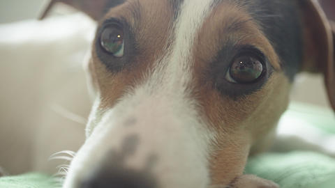 sad Jack Russell Terrier dog looking at the camera Live Action