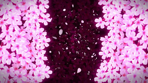 Japanese Cherry Blossoms In Full Bloom, CG Animation, Loop Animation