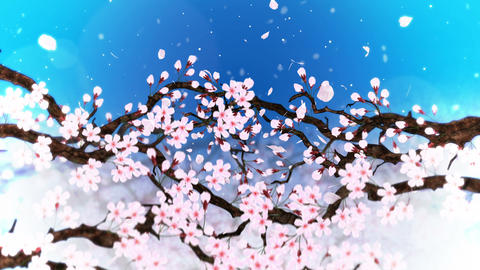 Cherry tree in full bloom, Loop, Blue Animation