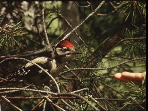 Woodpecker 4 Footage