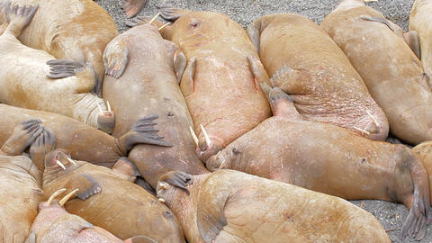 Well it must be so sweet to sleep! Huge walrus asleep on each other among beach Live Action
