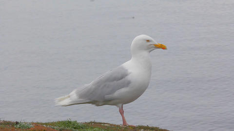 Large white Jonathan Livingston Seagull sits on cliff above sea Footage