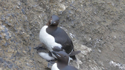 Two Caring Moms. Brunnich's Guillemots With Chicks Under Belly stock footage