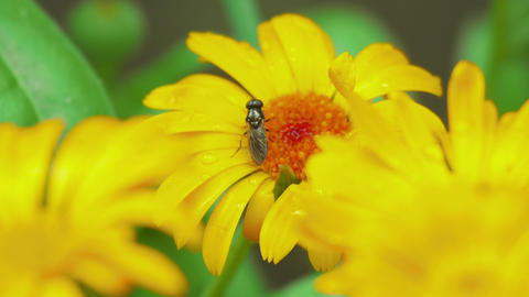 Fly on flower Calendula Footage
