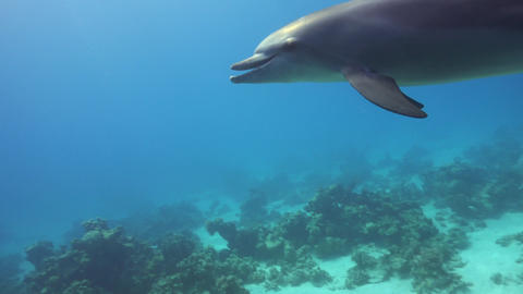 Dolphins Swims Near Divers Footage
