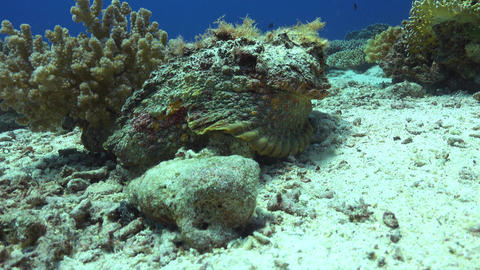Stonefish on Vibrant Coral Reef Footage