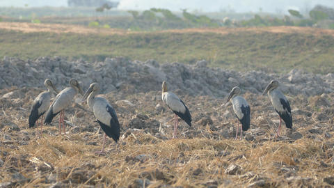 Group of Asian openbill storks standing at the farmland of Cambodia Footage