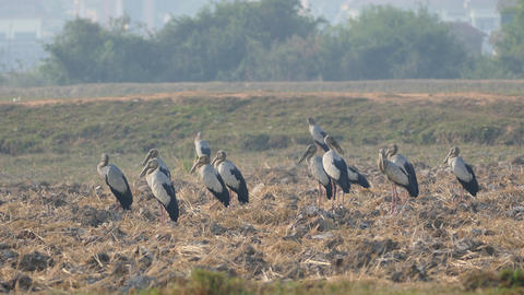 Group of Asian openbill storks standing at the farmland in Cambodia Live Action