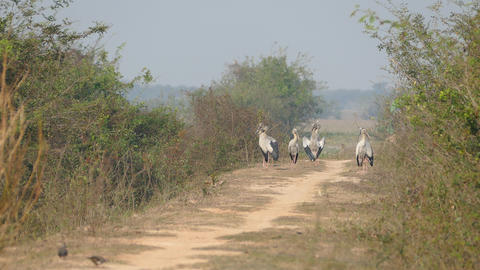 Group of Asian openbill storks standing at a path in Cambodia Footage