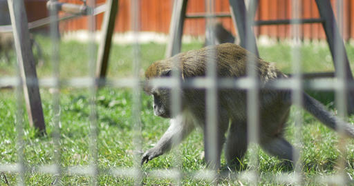 Macaque Monkey in Captivity Stock Video Footage