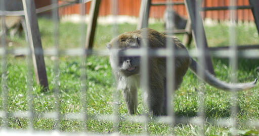 Macaque Monkey in Captivity Footage