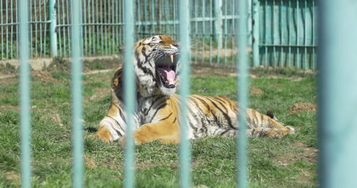 Suffering Tiger in Captivity Live Action