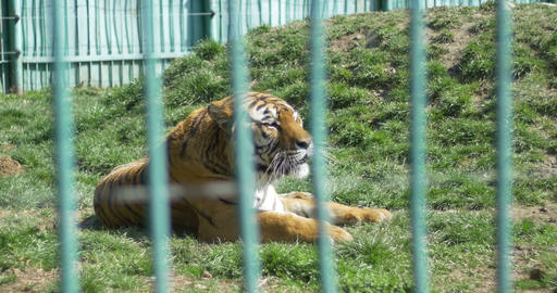 Raging Tiger at Zoo Stock Video Footage