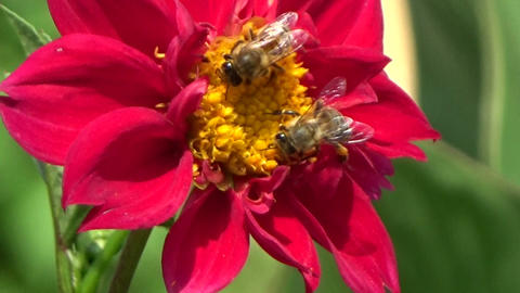 Two bees eating nectar on a beautiful red chrysanthemum flower in the summer sun Footage