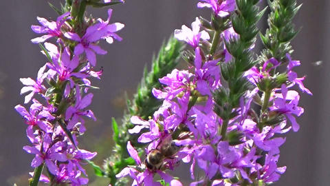Bee insect eating nectar on a pink purple loosestrife flower in the summer sun Footage