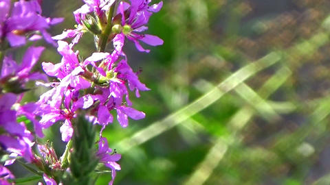 Bees eating nectar on a pink purple loosestrife flower in the summer sun Footage