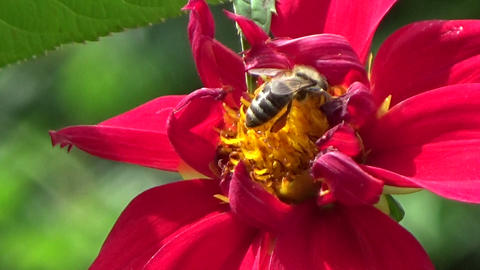 Bee insect eating nectar on a red chrysanthemum flower in the summer sun Footage