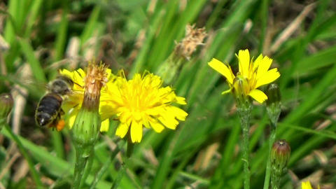 Bee insect eating nectar on a yellow wild dandelion flower in the summer sun Footage