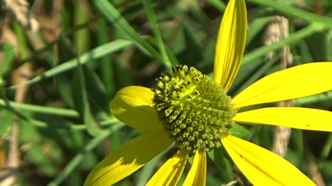 Bee insect eating nectar on a yellow wild echinacea flower in the summer sun Footage