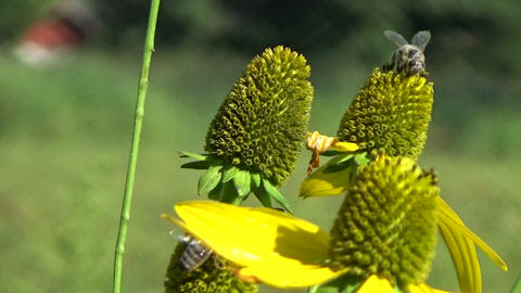 Bees eating nectar and pollinating a yellow echinacea flower in the summer sun Footage