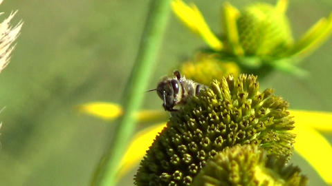 Bee insect cleaning its hands, feet and head on a yellow wild echinacea flower Footage