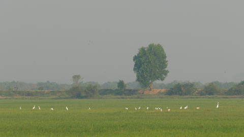Group Of Egrets At The Countryside Of Cambodia stock footage