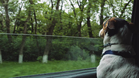 Dog peeking in from the open window of the car Footage