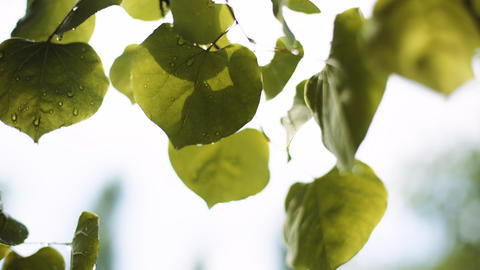 Water drops on leaves ライブ動画