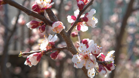 Spring cherry flowers, white flowers and buds Footage