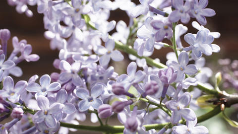 beautiful lilac branches Footage