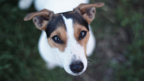 dog breed Jack Russell Terrier looking at the camera and barks Footage