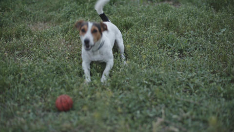 dog breed Jack Russell Terrier playing with ball on grass Footage