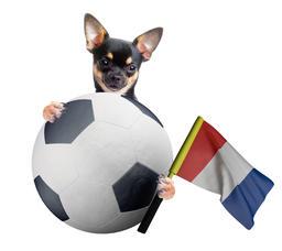 Cute Europa League chihuahua dog フォト
