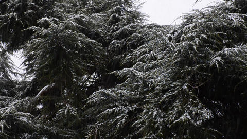 Snowfall in the forest park. Winter landscape in snow-covered park Footage