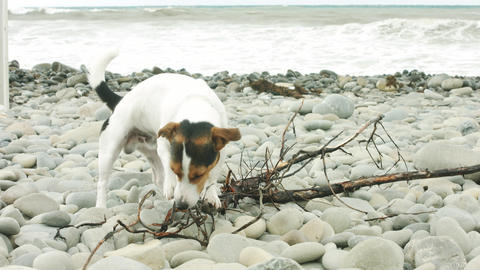 Dog is chewing a stick on the beach Footage