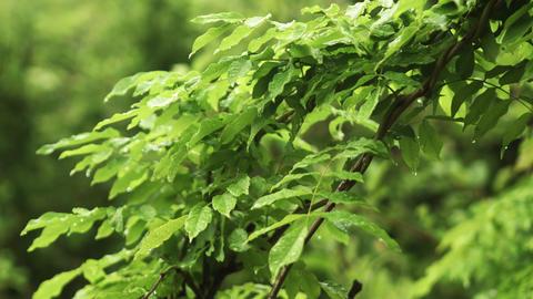 Rain drops falling on green leaves Footage