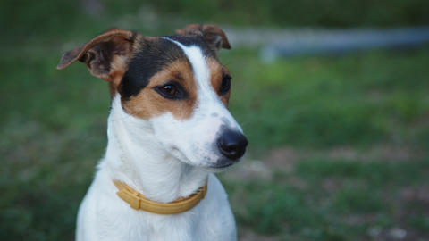 Cute Jack Russell Terrier dog Live Action
