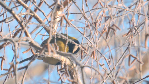 Titmouse sits on a snow-covered birch branch Footage