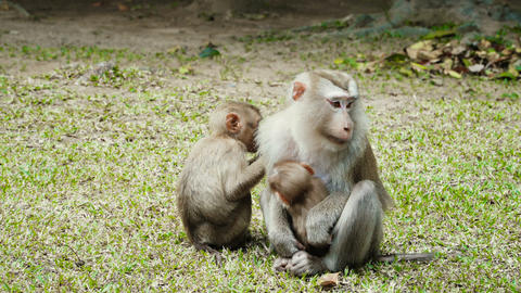 Northern pig-tailed macaques Footage