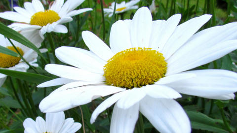 Daisy blossom close-up. Natural video with meadow flowers detail. Sharping Animation