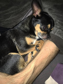 Cute dog chihuahua relax in the arms of boss Photo